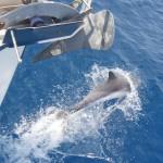 Delphine vorm Bug einer Segelyacht