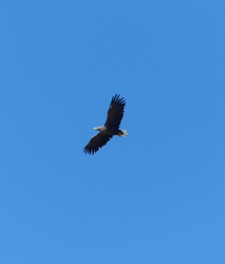 Seeadler auf Usedom